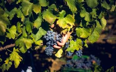 """Stime di vendemmia 2019 in ribasso, """"ma la qualità delle uve è ottima"""""""