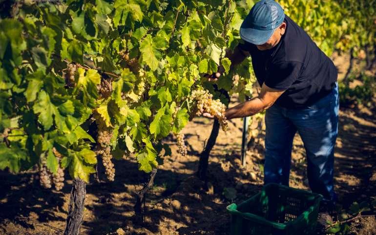 Vendemmia, in Sardegna cala la produzione ma più qualità