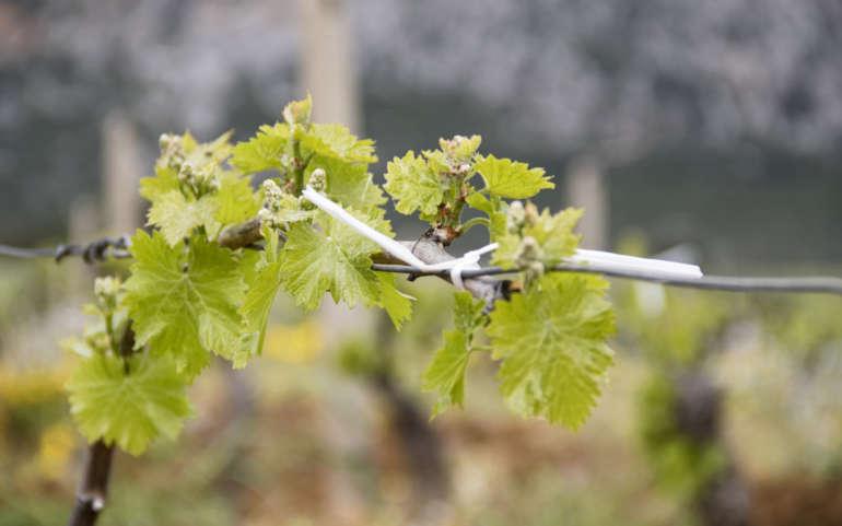 Il patrimonio genetico della viticoltura sarda è da valorizzare