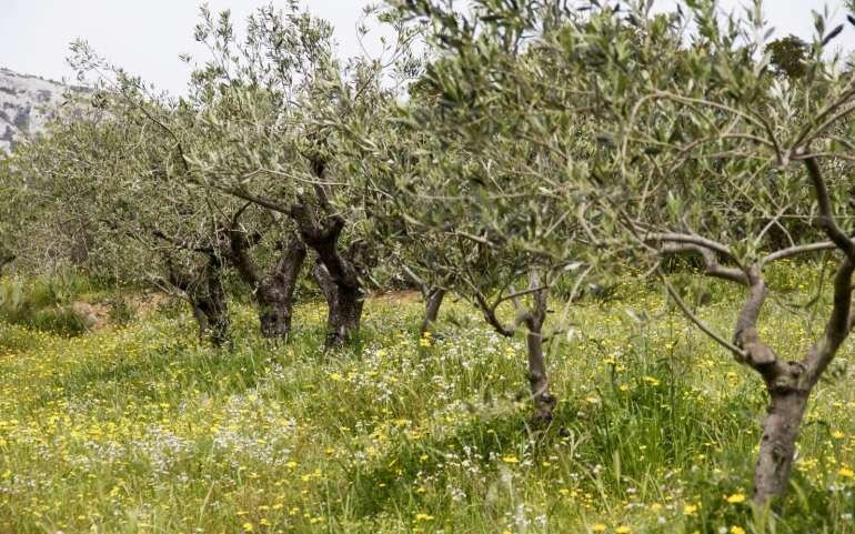 Non solo vino: ecco l'olio extravergine di oliva Berritta!